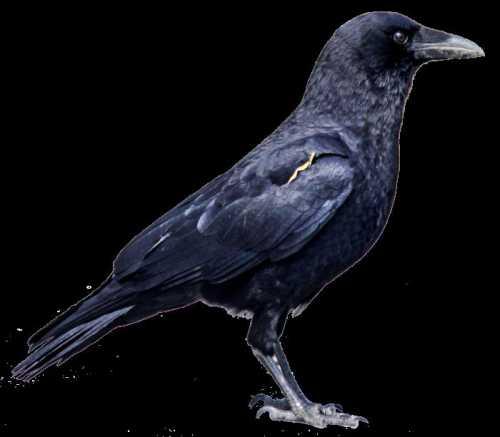 К чему снится ворона, увидеть ворону во сне,