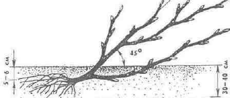Посадка смородины весной саженцами