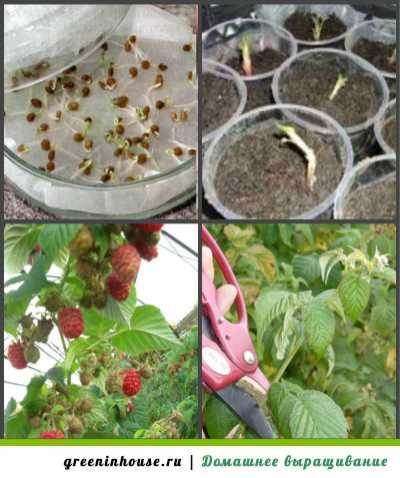 Как вырастить малину, выбираем семена и