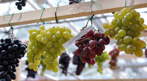 Особенности сортов винограда для средней полосы