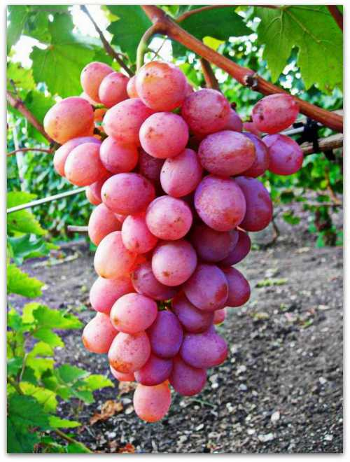 Особенности сорта винограда Гурман: фото,