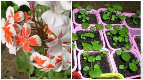 Пелагония: выращивание из семян, уход, фото,
