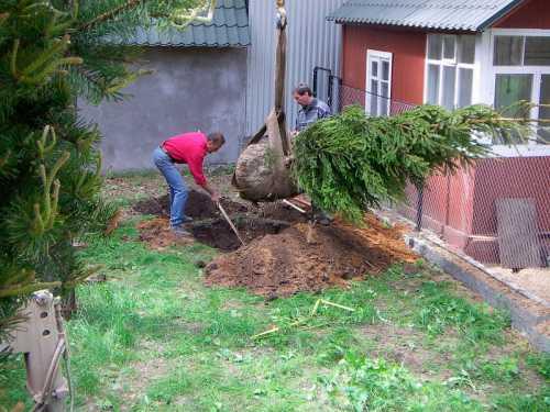 Осенние работы на даче Высадка хвойных растений