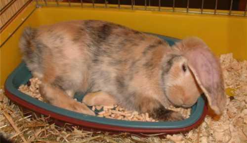 Как приручить кролика к туалету