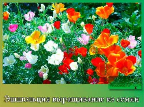 Эшшольция: выращивание из семян, технология,